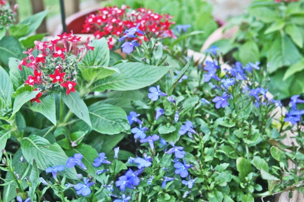 pentas and blue flowers