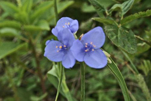 wild-blue-flowers