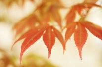 1-1-a-red-leaf