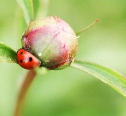 1-1-ladybug