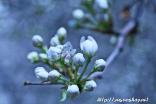 pear-bloom