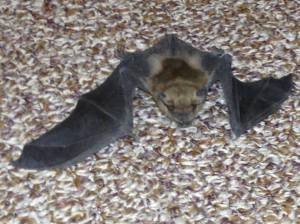 Bat crawling in the hallway.