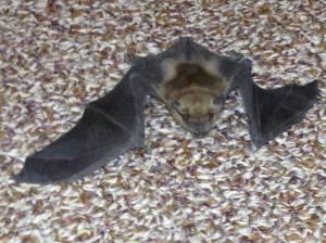 Bat crawling in the hallway.