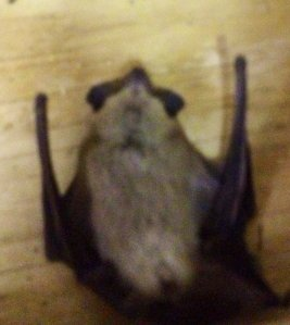 This bat died of old age. We didn't hurt him.