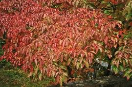 berry-trees