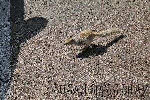 GC-SQUIRREL